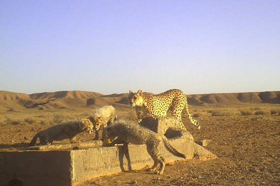 Mother Asiatic cheetah with three cubs, an extreme rarity. Photo by: ICS/DoE/CACP/Panthera.