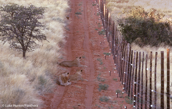 Lions hang out by a fence in Tswalu Kalahari Reserve, South Africa. Photo by: Luke Hunter.