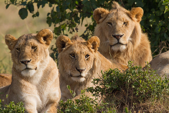 Adult female and two male juvenile lions in the Masai Mara, Kenya. Photo by: Benh Lieu Song.