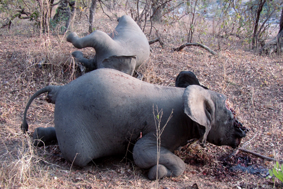 Poached elephant on its knees with another lying dead behind it. Last year poachers killed an estimated 650 elephants in Cameroon's Bouba Ndjida National Park. Photo courtesy of IFAW.