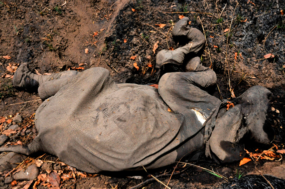 An elephant calf killed by poachers. Photo courtesy of IFAW.