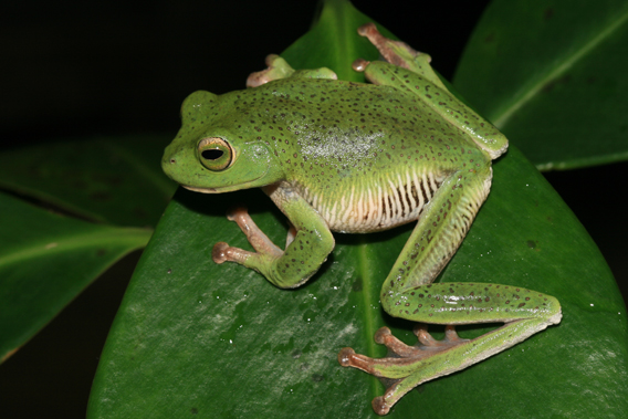 The starry shrub frog has been rediscovered after believed extinct for nearly 160 years. Photo by: L.J. Mendis Wickramasinghe.