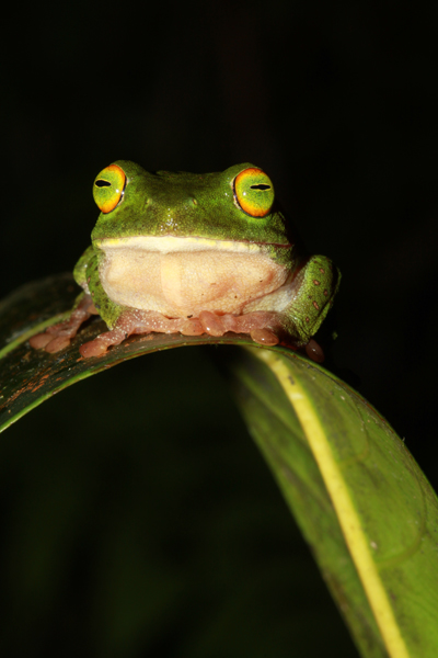 Pseudophilautus stellatus or the starry shrub frog. Photo by: L.J. Mendis Wickramasinghe.