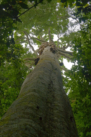 Congo rainforest tree in the Omphalocarpum genus showing large fruits on the trunk. New study shows this species is dependent on elephant to survive. Photo by: David Beaune.