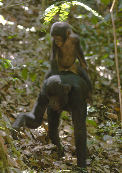While bonobos are neutral seed dispersors for Irvingia gabonensis, they rely on their fruits for several weeks, thus relying on elephants for their dispersal abilities. Photo by: David Beaune.