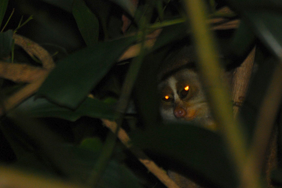 Nocturnal, sensitive, and with a highly-specialized diet grey slender loris should not be taken out of the wild. Photo by: Arun Kanagavel.