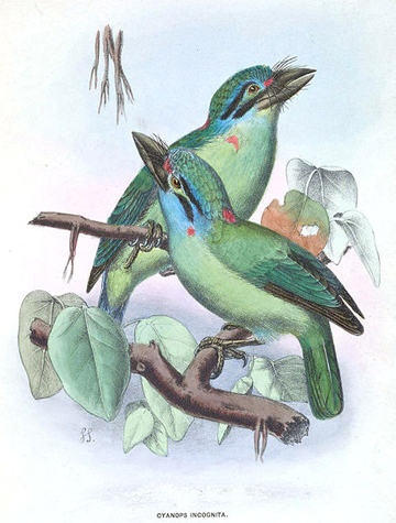 Mustached barbet. Illustration by: Sharpe, RB (1891). 