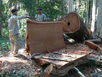 Cut tree will soon be on its way to Vietnam. Photo by: Greg McCann. 