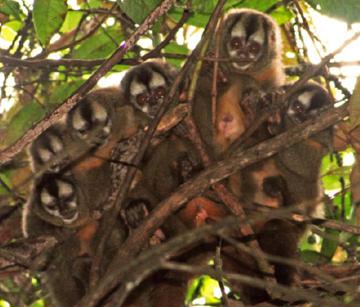 The Peruvian night monkey study group in vine tangle nest. Photo by: Sam Shanee/NPC.