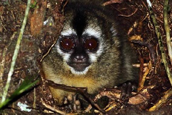 Adult Peruvian night monkey. Photo by: Jean Paul Perret/NPC.
