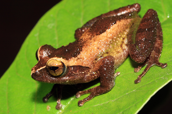 Pseudophilautus puranappu. Photo by: L.J. Mendis Wickramasinghe.