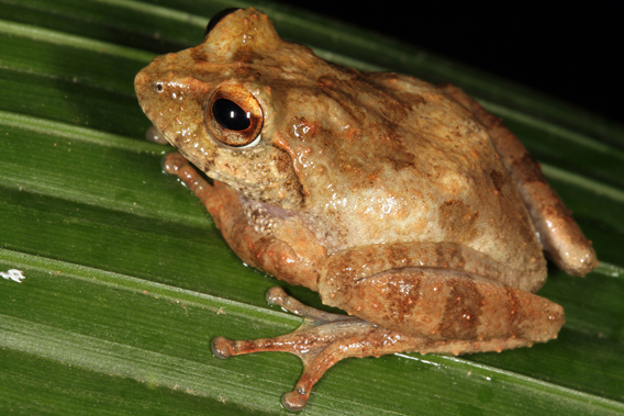 Pseudophilautus samaracoon. Photo by: L.J. Mendis Wickramasinghe.