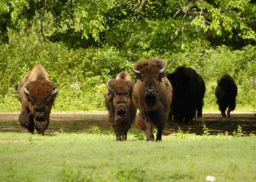 'No Home on the Range?' Facing extinction at the end of the 19th Century, the American Bison was saved due in large part to the early efforts of the Wildlife Conservation Society.