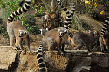 Evolutionary Castaways: Lemurs are an order of primates that survive only on Madagascar. Elsewhere their role in the environment was supplanted by other more advanced primate species, like monkeys.