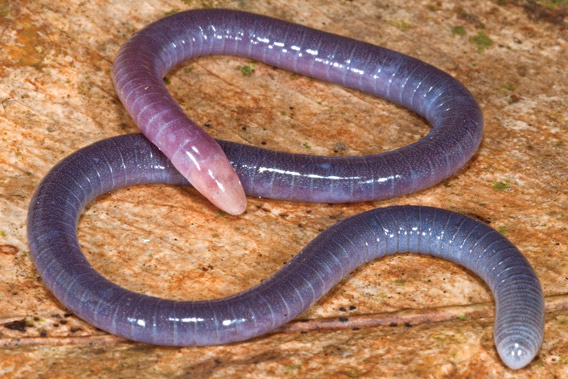 Relative of the 39 penis snake 39 discovered in south america for Serpente rosa