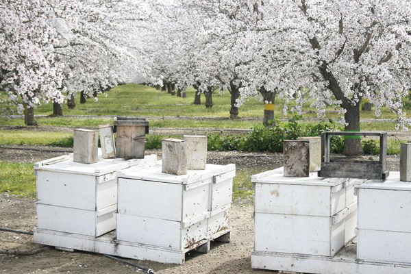 Bee hives in California almond orchard. Photo courtesy of Garibaldi et al.