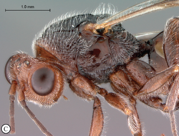 Collected in the 1930s in Madagascar this wasp has finally been described and named after its discoverer (André Seyrig), Paramblynotus seyrigi. Photo by: Simon van Noort.