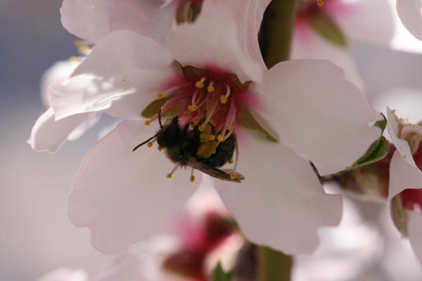 Wild bee visiting almond flower. Photo courtesy of Garibaldi et al.