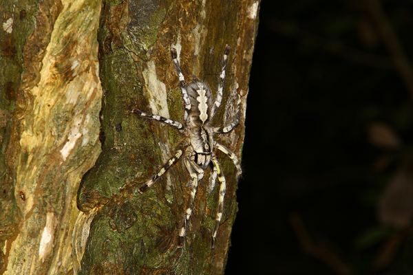 Poecilotheria rajaei is a tree-climbing spider. Photo by: Ranil Nanayakkara.