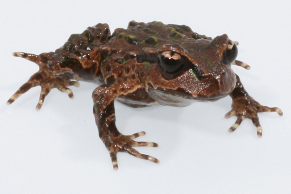 Archey's frog, a prehistoric survivor that is facing extinction. Photo by: Phil Bishop.