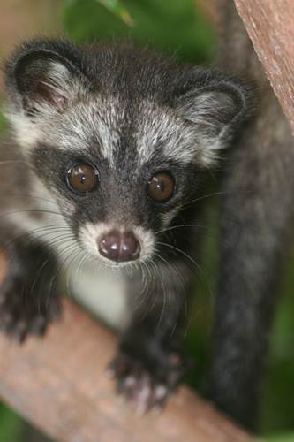 Common palm civet. Photo courtesy of Chris Shepherd.