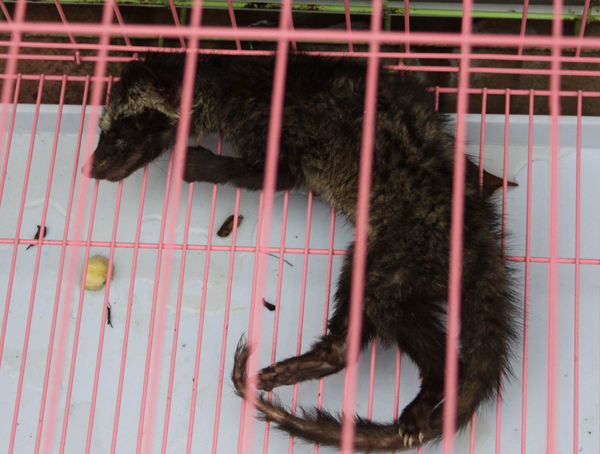 Civet being sold in Jakarta market for the civet coffee trade. Photo by: Chris Shepherd.
