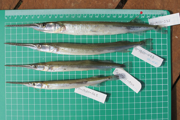 Sample fish taken from the Mekong. Photo courtesy of FISHBIO.