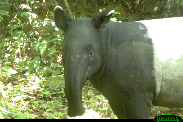 Asian tapir photographed by camera trap. Photo by: Rimba.