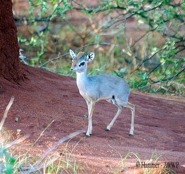 Silver dik-dik (Madoqua piacentinii) male, found in Ogaden, Ethiopia. Photo by: Catrin Hammer for AWWP (Al Wabra Wildlife Preservation)/N.e.a.a.s.g. ( North East African subgroup of Antelope Specialist Group of IUCN)