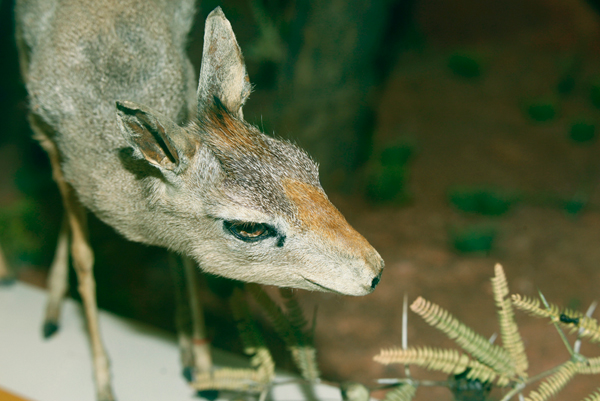 Mounted female specimen of silver dik-dik in the Faraggiana-Ferrandi Natural History Museum in Novara (Italy). Photo by: G.G. Bellani.