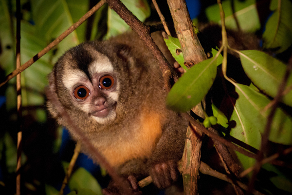 The Andean night monkey (Aotus miconax) is endemic to Peruvian forests which are being protected not by the government or big NGOs, but local communities. Photo by: Andrew Walmsley/NPC.