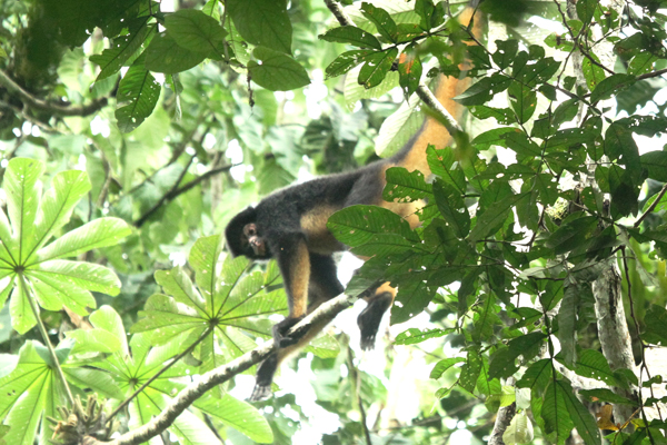 White-fronted spider monkey (Ateles belzebuth). Photo by: Shachar Alterman.
