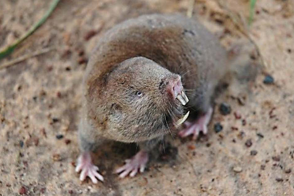 A new mole rat from Zambia: Caroline's mole rat (Fukomys vandewoestijneae). Photo courtesy of: Daele, P.A.A.G. van et al.