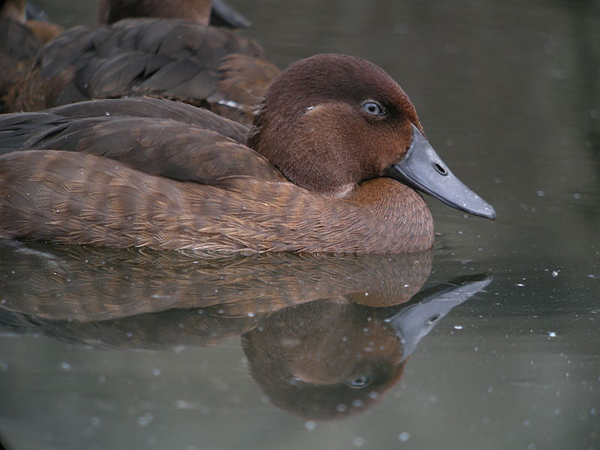 Madagascar Pochard, Captive Breeding Program, Madagascar. Photo by: Frank Vassen.