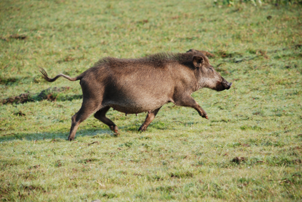 Feral pig in the Pantanal. Photo courtesy of Arnaud Desbiez.