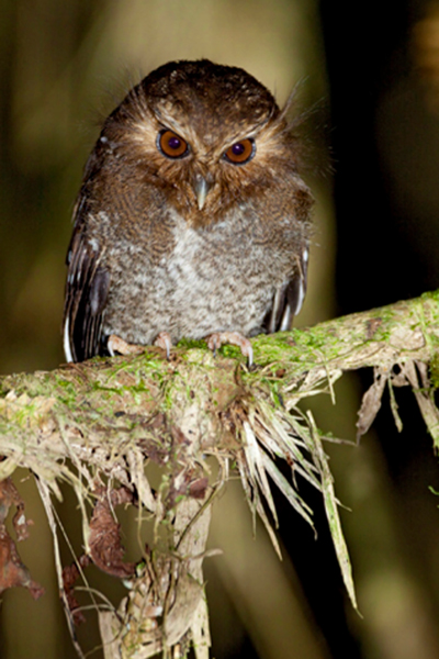 Long-whiskered Owlet (Xenoglaux loweryi) © Dubi Shapiro. Long-whiskered Owlet (Xenoglaux loweryi) population estimates 250 to 999 individuals. Declining due to habitat destruction. Xenoglaux loweryi is known from three localities on isolated ridges in the eastern Andes of Amazonas and San Martín, northern Peru.