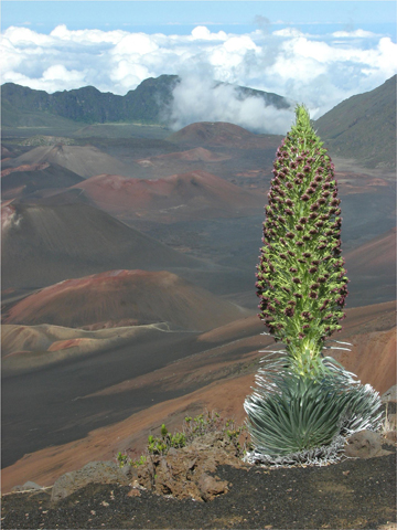 Blooming Hawaiian silversword. Photo courtesy of: Paul Krushelnycky.