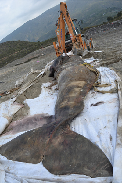 The sperm whale that perished from plastic pollution. Photo courtesy of de Stephanis, R., et al.