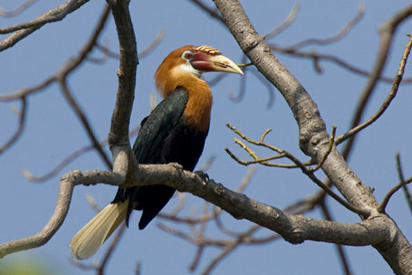 Narcondam Hornbill (Aceros narcondami) © Niranjan Sant. Narcondam Hornbill (Aceros narcondami) population estimate at 50 to 249 mature adults. Narcondam Island, India. Threatened by hunting and habitat destruction.