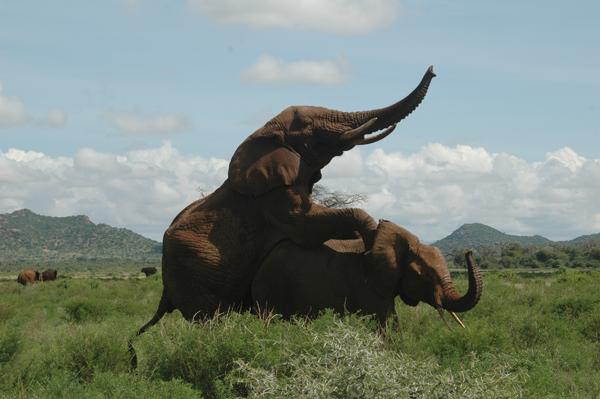 Ngampit mating. Photo courtesy of Save the Elephants (STE).