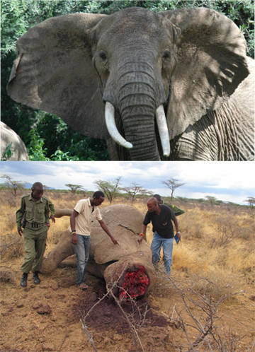 Cirrocumulus in life and death. Photo courtesy of Save the Elephants (STE).