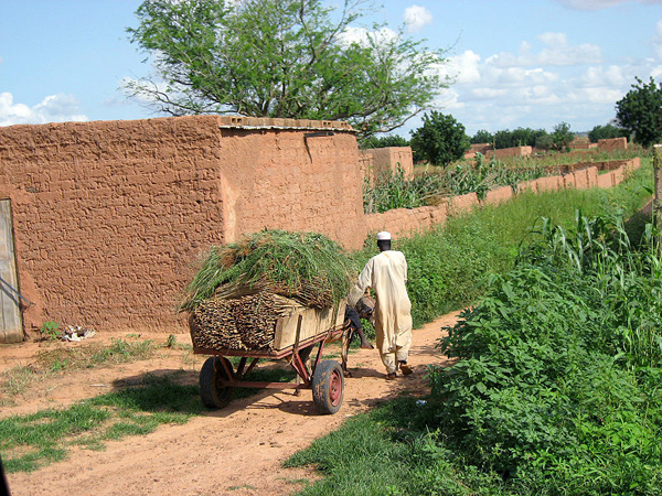 A farmer collecting millet in Koremairwa village in the Dosso department. Photo by: USDA.