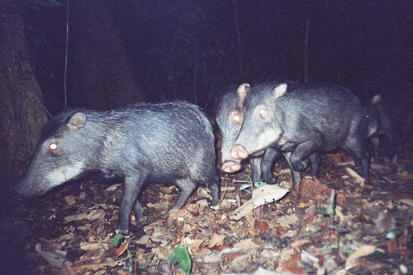 White-lipped peccaries on camera trap for the AREAS Amazonia Project. White-lipped peccaries can live in herds up to several thousand individuals. Photo by: WWF & San Diego Zoo.