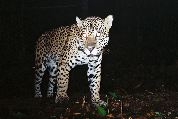 Jaguar caught on camera trap for the AREAS Amazonia Project. Photo by: WWF & San Diego Zoo.