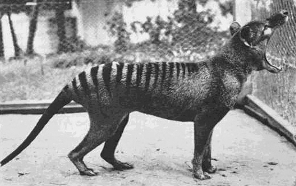 Last known thylacine named Benjamin showing his wide gape. Photo by: Unknown.