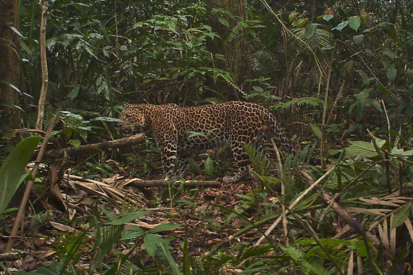 Javan leopard in Gunung Halimun-Salak National Park,. Photo by: Age Kridalaksana/CIFOR.