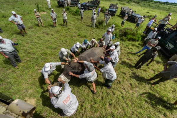 Working with sedated rhino. Photo by: Roger de la Harpe/&Beyond.