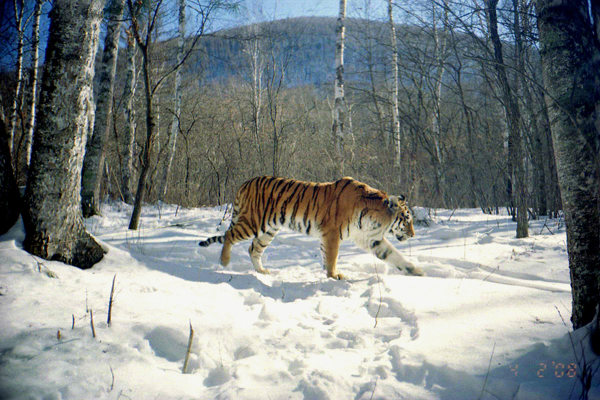 A Siberian tiger in the Sikhote-Alin Mountains, Primorye, Russia. Photograph (c) Wildlife Conservation Society Russia Program.