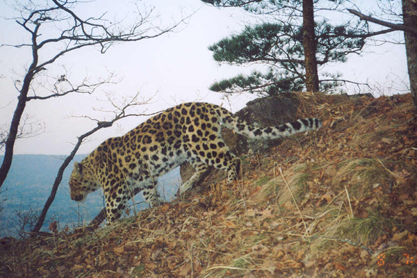 An Amur leopard walks a ridge in southwest Primorye, Russia. Photograph (c) Wildlife Conservation Society Russia Program.