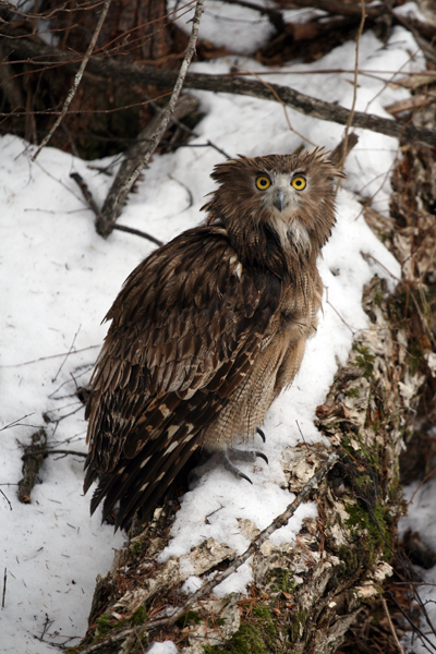 Blakiston's fish owls spend more time on the ground than many other owl species. Photograph (c) J. Slaght, Wildlife Conservation Society.